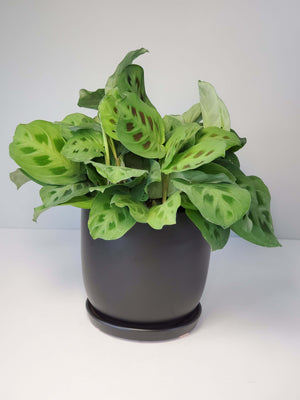 green prayer plant maranta houseplant buy online