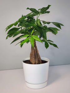 Money Tree Houseplant buy online