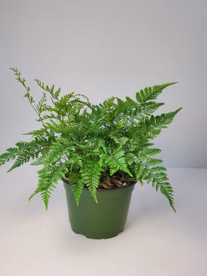 rabbit's foot fern houseplant buy online for sale