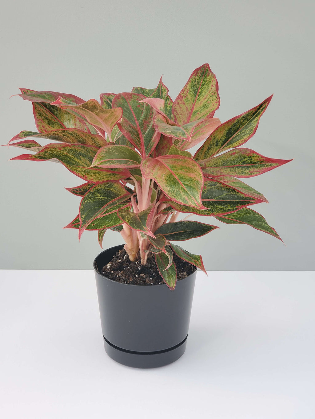 Red Aglaonema