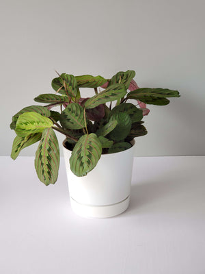 red prayer plant Maranta leuconeura buy online
