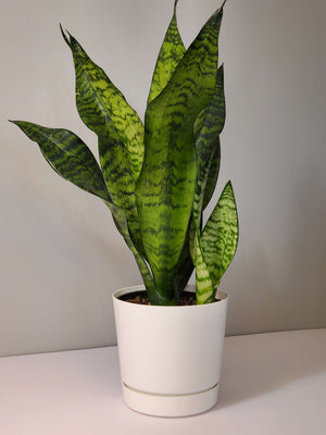 Sansevieria Snake Plant mother in law's tongue houseplant buy online