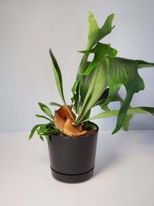Staghorn Fern Houseplant buy online