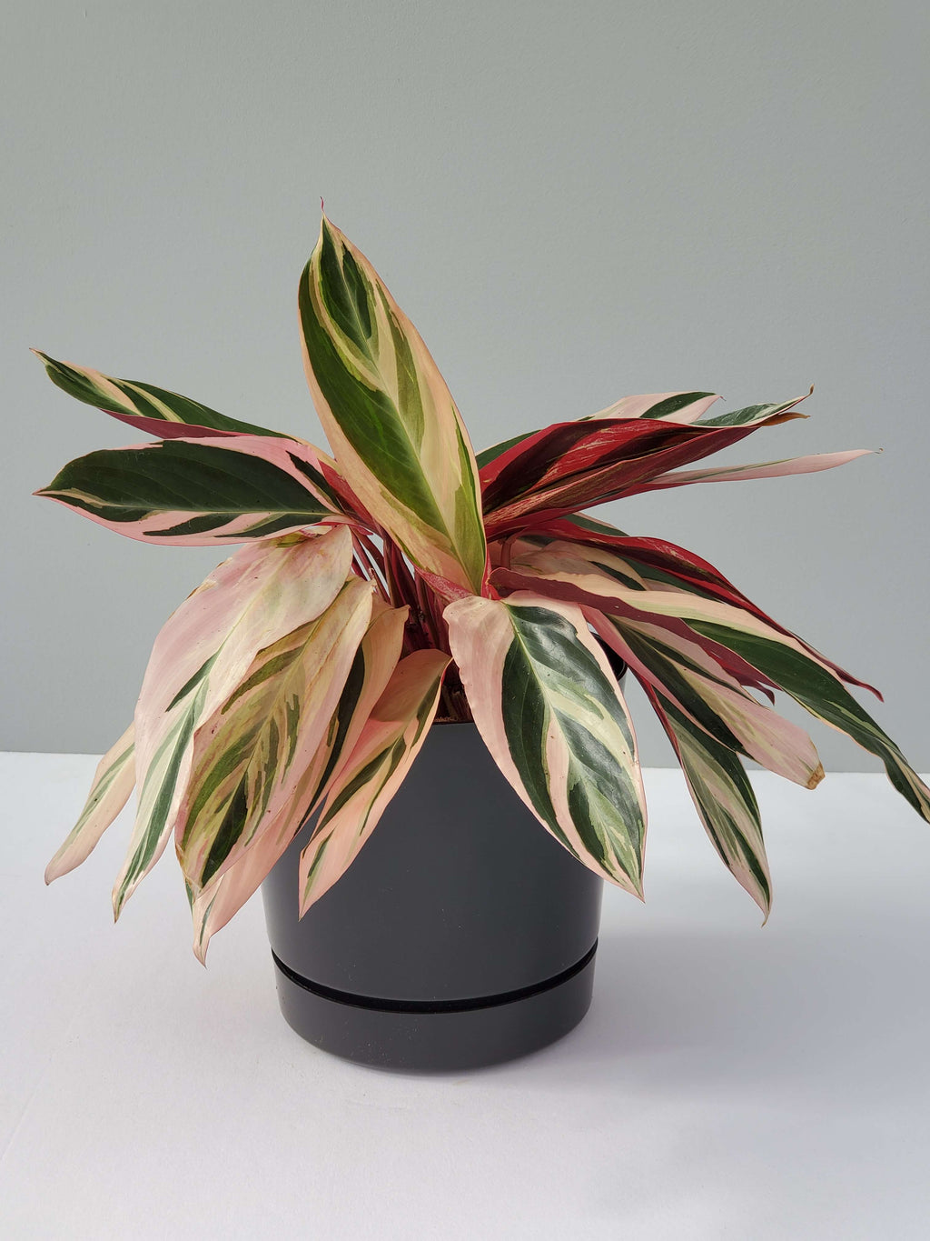 Tricolor Prayer Plant