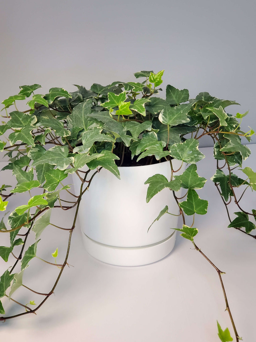 Variegated english ivy houseplant buy online