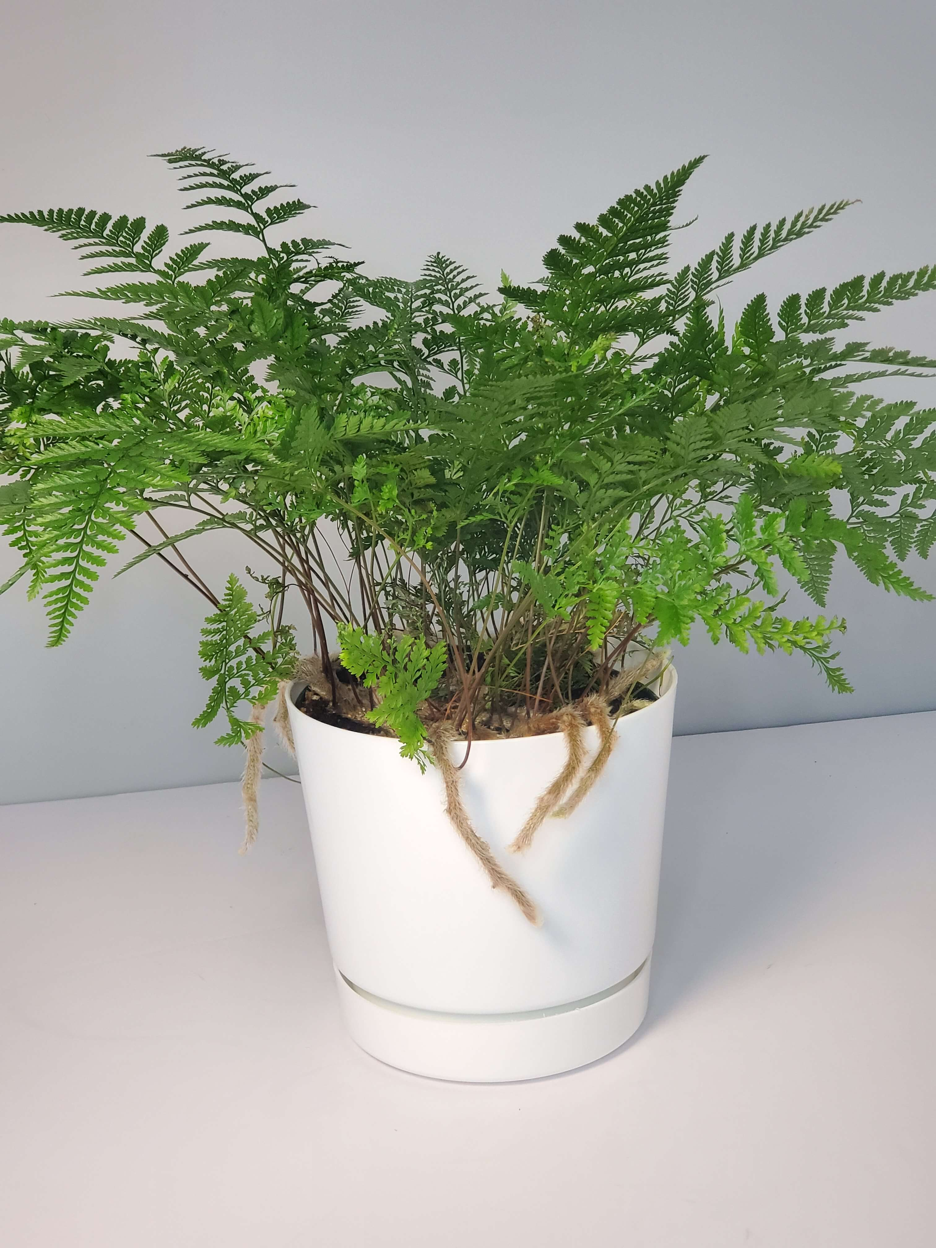 Rabbit's Foot Fern Houseplant buy online