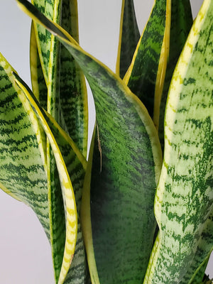 snake plant variegated sansevieria houseplant buy online mother in laws tongue