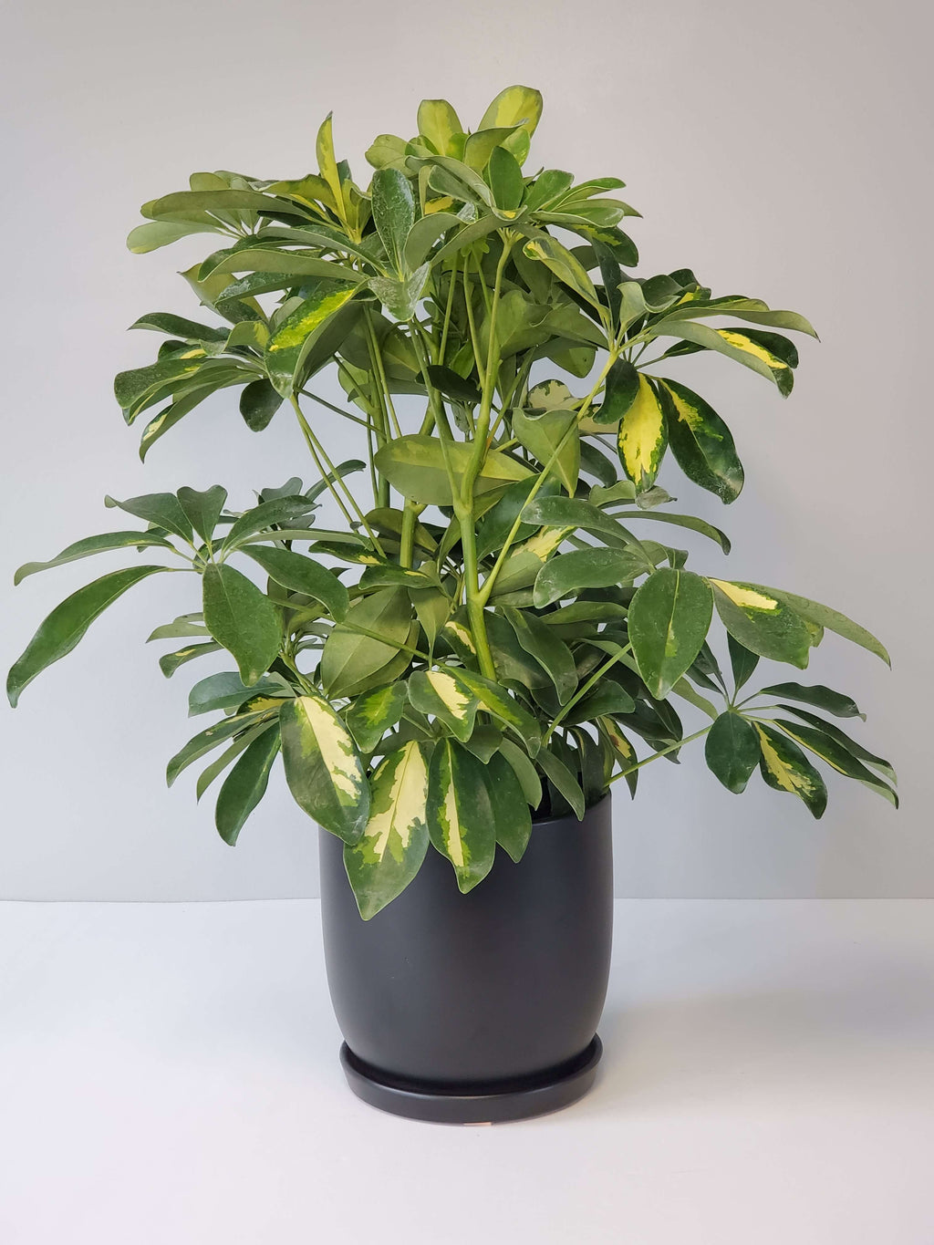 Schefflera Gold Capella Houseplant Buy Online