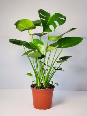 monstera deliciosa swiss cheese plant buy online