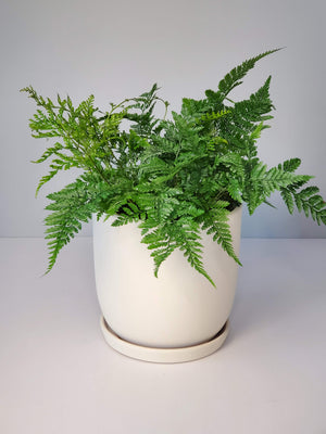 rabbit's foot fern buy online for sale