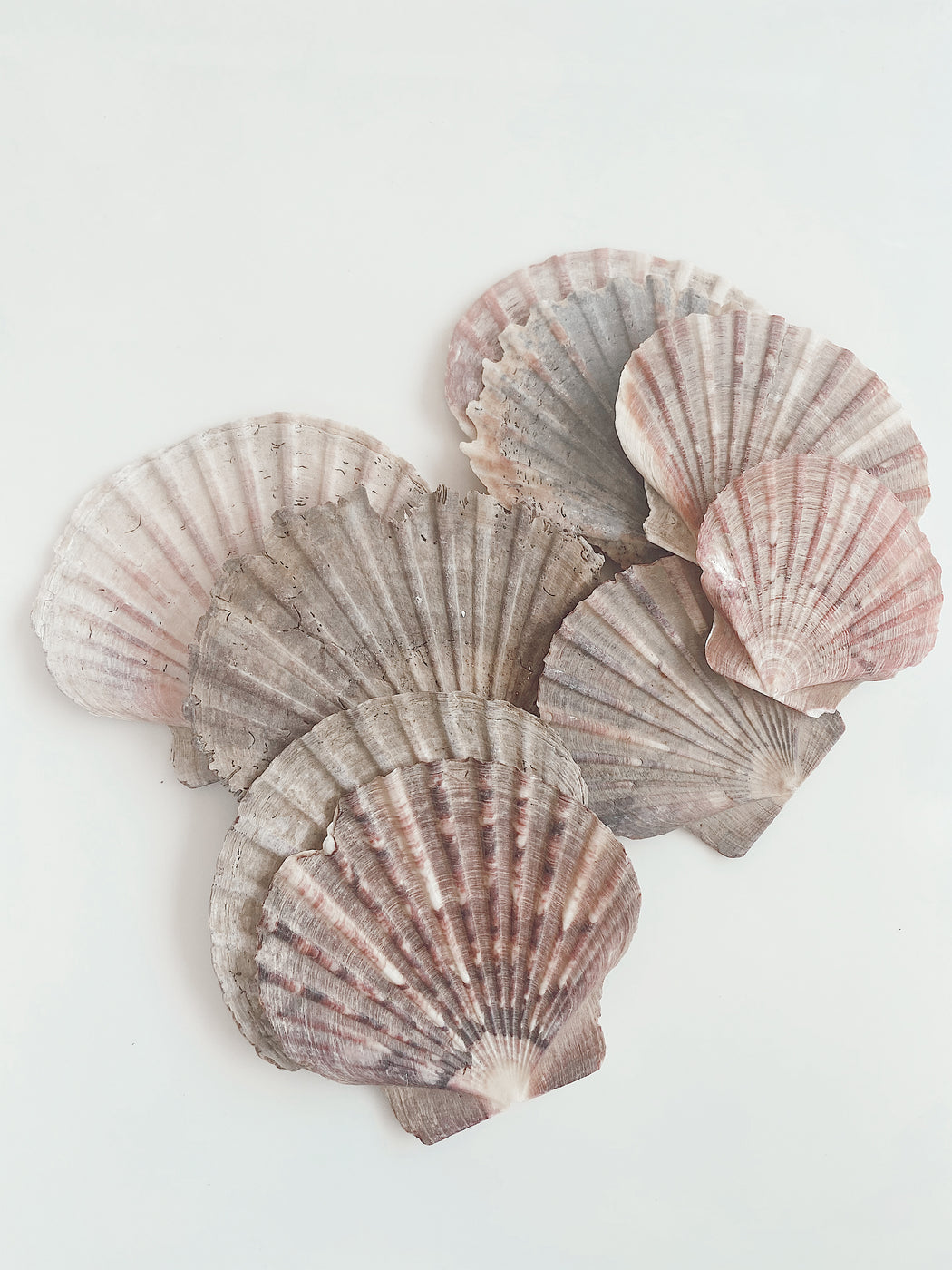 Shells From New Zealand