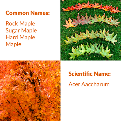 RealCraft Wood Species 101 Series: Maple. Common and scientific names listing