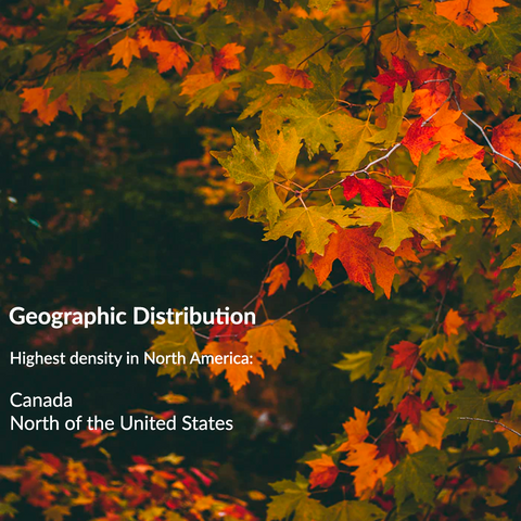 RealCraft Wood Species 101 Series: Maple. Maple tree geographic distribution