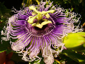 Passiflora ligularis - Sweet Granadilla - Jurassicplants Nurseries
