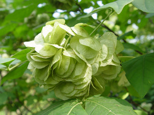 Ptelea trifoliata - Common hoptree
