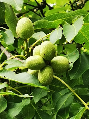 Juglans regia - Common Walnut Tree