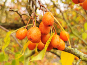 Pyrus phaeocarpa - Orange Pear