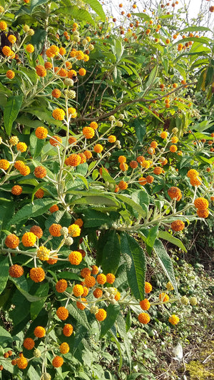 Buddleja globosa, Orange Ball Tree, shrub, bee plant, evergreen, hedge, scented