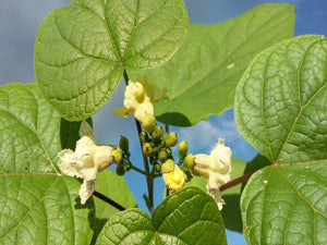 Catalpa ovata, yellow Catalpa