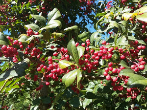 Zanthoxylum bungeanum - Large Fruited Sechuan Pepper Tree