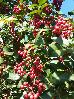 Zanthoxylum bungeanum x2 - Large Fruited Sechuan Pepper Tree