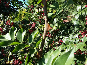 Zanthoxylum bungeanum, Large Fruited Sechuan Pepper Tree