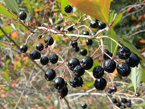 Aronia prunifolia, Purple Chokeberry, fruit, shrub, edible, hardy, flowering, Autumn, deciduous