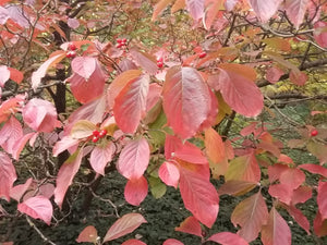 Cornus florida - Flowering Dogwood - Jurassicplants Nurseries