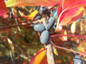 Nyssa sylvatica, Black Tupelo, tree, plant, fruit, Autumn colours