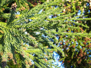 Cryptomeria japonica - Japanese Cedar - Jurassicplants Nurseries