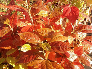 Photinia beauverdiana - Christmas Berry - Jurassicplants Nurseries
