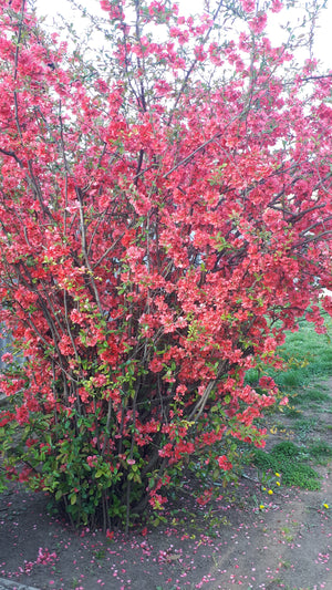 Chaenomeles japonica - Japanese Quince