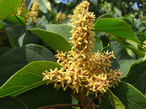 Mallotus japonicus, Food Wrapper Tree