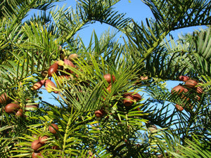 Cephalotaxus fortunei - Japenese Plum Yew, Cowtail Pine -15-20cm tall