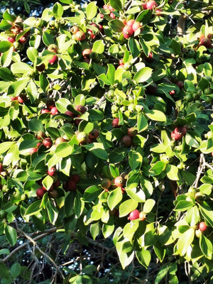 Psidium cattleianum - Strawberry Guava