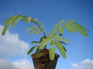 Albizia julibrissin, Silk Tree, flowering tree, scented, hardy, plant, garden, patio, acacia