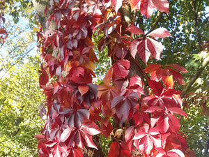 Parthenocissus quinquefolia - Five Leaved Ivy - Jurassicplants Nurseries