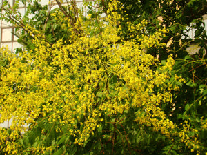 Koelreuteria paniculata - Pride of India
