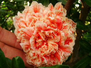Punica  Granatum - Ornamental Pomegranate California Sunset or Mme Legrelle Salmon Pink Flowered