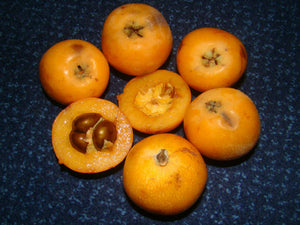 Eriobotrya, Medlar, evergreen, fruit, shrub, hardy