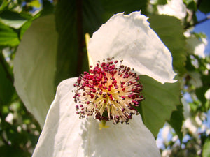 Davidia involucrata, Dove tree, Handkerchief Tree