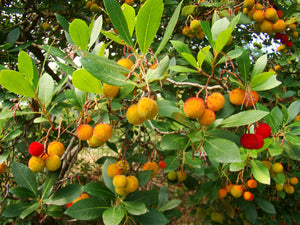 Arbutus unedo - Strawberry Tree