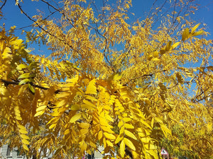 Gleditsia triacanthos, Honey Locust