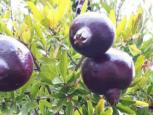 Punica granatum - Black Pomegranate - Jurassicplants Nurseries