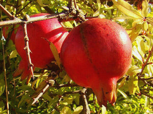 Punica granatum - Pomegrante  Red Fleshed  Acco variety - Jurassicplants Nurseries