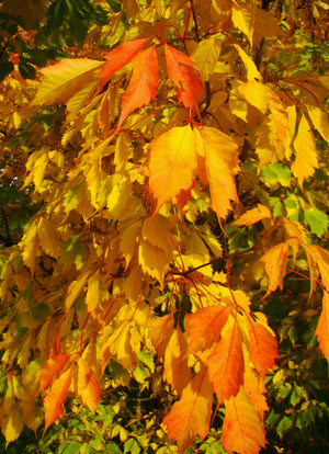 Acer cissifolium - Ivy Leaved Maple