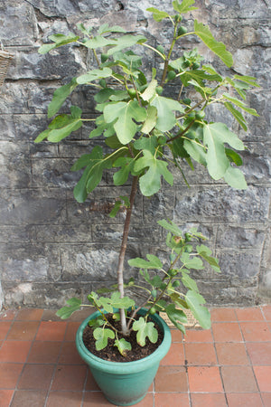 Yellow fig, plant, fruit, Ficus carica, hardy, edible, shrub