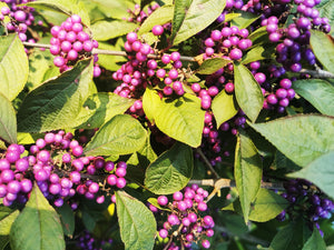 Callicarpa dichotoma - Purple Beautyberry