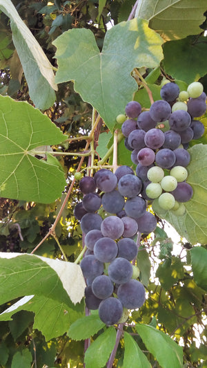 Vitis labrusca Concord - Fox Grapevine (dark blue)