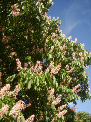 Aesculus indica, Indian horse chestnut, flowering, tree, plant, garden